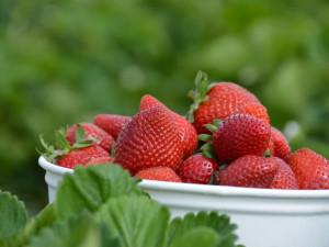 Samosběr jahod láká, ministerstvo ekologicky šetrné pěstitele podporuje