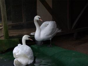 Labutě našly lásku v záchranné stanici, do přírody se vrátily spolu