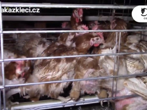 Po kožešinových farmách vyráží ochránci do boje s klecovými chovy