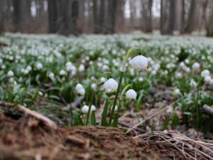 FOTO, VIDEO: Jaro je tady! Les Jechovec po roce pokryl bílozelený bledulový koberec