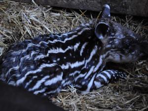 Jihlavská zoo má nový přírůstek. Mladého tapíra mohou návštěvníci už teď vidět ve výběhu
