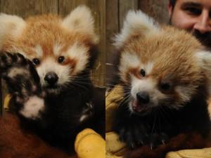 Ti jsou krásní! V jihlavské zoo se narodila dvě mláďata pandy červené
