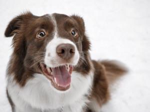 Jak to bude s čipováním psů? Nevyhnou se mu ani psí senioři. O očkování ale ani psi bez čipu nepřijdou