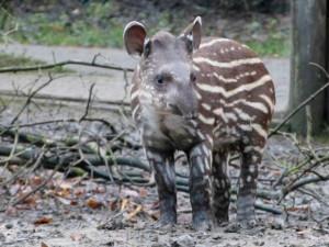 Primátorka Jihlavy Koubová bude patronkou malého tapíra jihoamerického