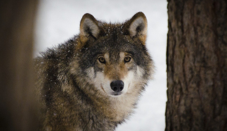 U Telče se zřejmě pohybuje jeden či více vlků. Chovatelé zvířat, pozor na zabezpečení, varují ochránci přírody
