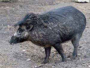 Jihlavská zoo v prosinci představí nová zvířata, tři kriticky ohrožená prasata visajánská
