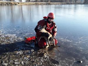 Nový rok začali hasiči v Telči úspěšně. Pomohli srnce, která uvízla v ledu na rybníku