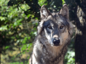 V kraji dostal hospodář první náhradu za škodu po vlkovi. Šlo o 15 tisíc za zabité tele
