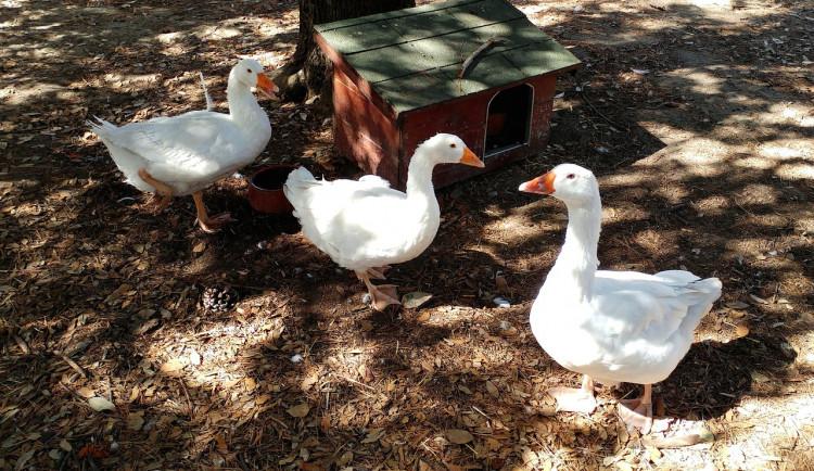 V dalších chovech ve Štěpánově se ptačí chřipka nepotvrdila