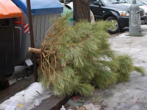 Z ulic Jihlavy se svezlo skoro 21 tun vánočních stromků. Teď začne štěpkování