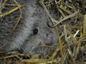 V jihlavské zoo se narodili vzácní klokánci. Další chovají až v Británii