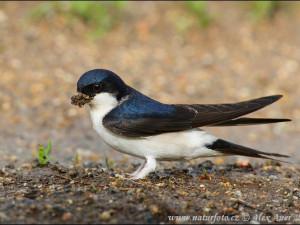 Jiřička obecná je ptákem roku 2020. V Jihlavě bylo evidováno skoro 400 hnízdících párů