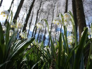 FOTO, VIDEO: Les Jechovec opět ozdobily bílozelené květy bledulí