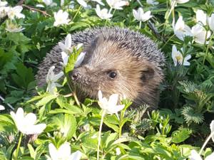 Ochránci z Pavlova vypustili ježky a netopýry. Lidé sem nosí mrkev i granule
