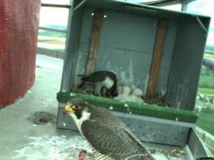 Na Vysočině po mnoha letech hnízdí sokoli, v Dukovanech vyvedli čtyři mladé