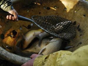 Na Vysočině se každý rok vyloví zhruba 2000 tun ryb. Největší zastoupení má kapr