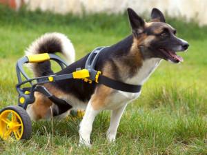 Brněnská firma vyrábí invalidní vozíky pro handicapované pejsky, připravuje vylepšený i pro lidi