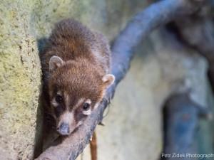 Jihlavská zoo má mládě nosála. Narodilo se den po návratu jeho tatínka, který utekl