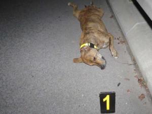 PÁTRÁNÍ: Policie hledá majitele usmrceného bulteriéra. Srazil ho motorkář