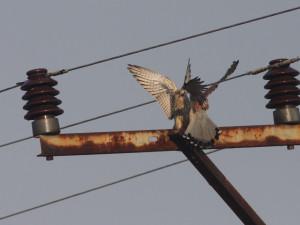 V Pavlově se starají o ptáky popálené proudem. Jaký sloup je nejnebezpečnější?
