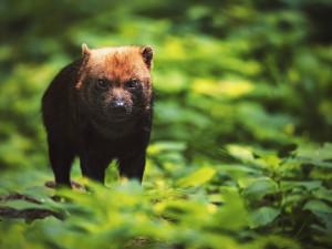 Nová zvířata v Zoo Jihlava. Čtveřici psů pralesních převáželi zaměstnanci i na Štědrý den