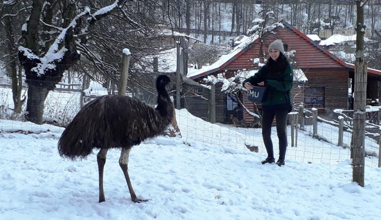 Třeba gibonům a šelmám návštěvníci očividně chybí, říká chovatelka z jihlavské zoo Aneta Straková