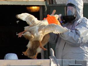 Horní Cerekev hlásí ptačí chřipku. Chovy drůbeže teď budou pod přísným dohledem