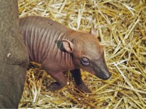 Radost v jihlavské zoo. Narodilo se mládě vzácné babirusy, nově je k vidění i lama alpaka