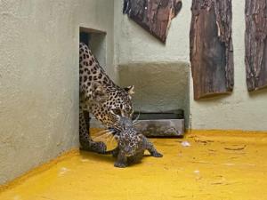Radostná zpráva z jihlavské zoo, narodila se zde dvě levhartí mláďata