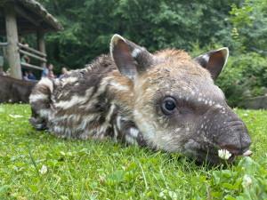 Nejnovější přírůstek v jihlavské zoo, v sobotu se narodila tapíří samička