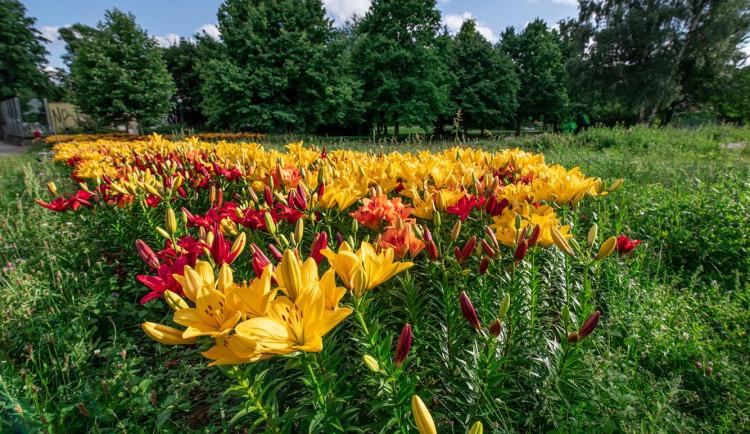 Radost pohledět! Jiráskovu ulici zdobí ohnivé barvy kvetoucích lilií