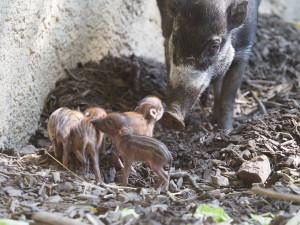 Radostná zpráva z jihlavské zoo, narodila se čtyři mláďata kriticky ohroženého prasete visajánského