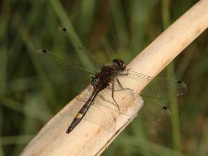 V mokřadu u Dušejova se poprvé objevil chráněný druh vážky. Hezký dárek k výročí, říká ochránkyně