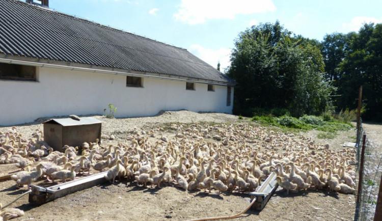 Husí farma v Rohozné na Jihlavsku